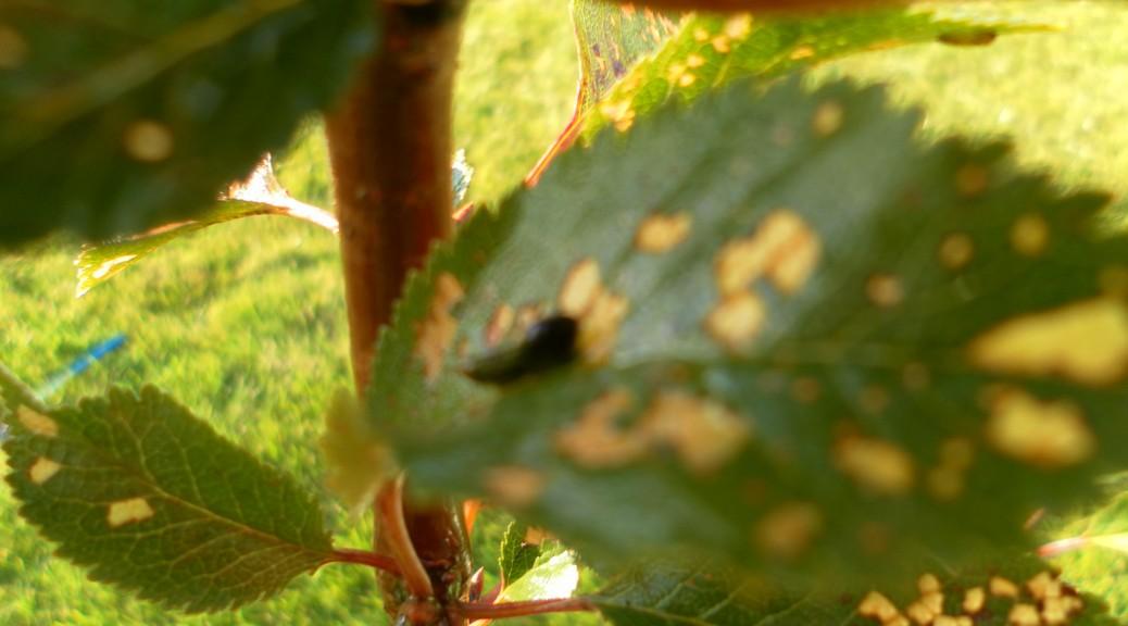 juodas, gleivėtas, graužia vyšnių lapus